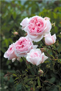 Rosier anglais the weedgwood rose