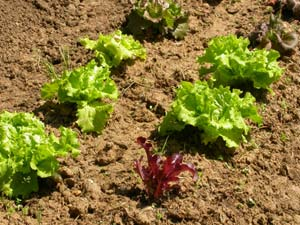Salades au potager