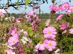 Semis faciles pour été fleuri