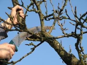 Taille d'une branche d'arbre fruitier à la scie arboricole