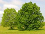 Tilleul et acacia, arbres de pur plaisir
