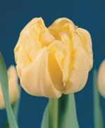 Bulbes : nouvelles variétés 2009