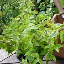 Abelia x floribunda