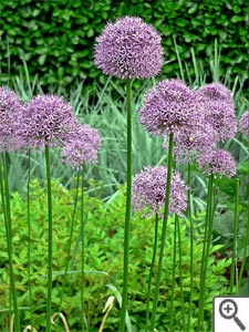 Ail d'ornement (allium)