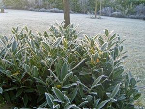 Feuillage persistant sous le gel