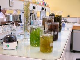 Recherche sur les algues