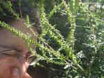 L'ambroisie, une plante invasive responsable d'allergies
