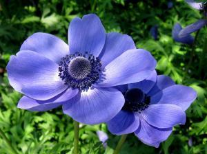 Anémone : conseils de culture au jardin