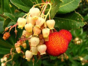 Fleurs et fruits d'arbousier
