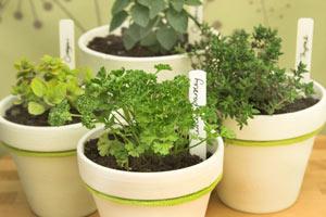 Quelques aromatiques cultivées en pot