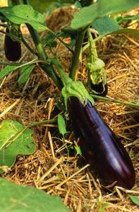 Pied d'aubergine paillé