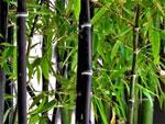 Quel bambou pour votre jardin?
