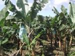 Banane et chlordécone