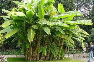 Touffe de bananiers au jardin