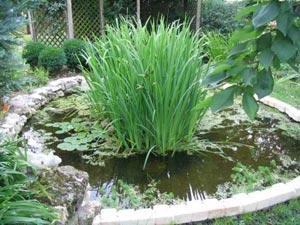 plantes de bassin de jardin