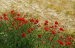 Biodiversité : les blés à l'honneur au Jardin des Plantes de Paris