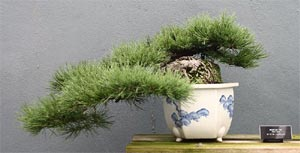Semi-cascade style Mugo Pine