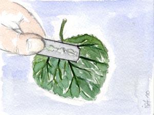 Bouturage de feuilles de bégonia