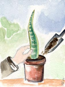 Bouturage de feuilles de sanseviere