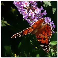 Papillon sur un buddleia ou arbre à papillons