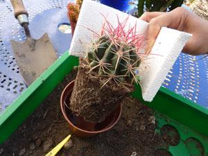 Rempoter le cactus saisi avec du polystyrène