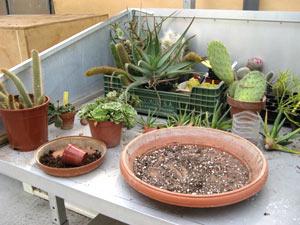 Cactus : le rempotage