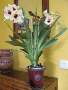 Entretien d une orchidee orchide vanda dans un pot en - Arrosage orchidee en pot ...