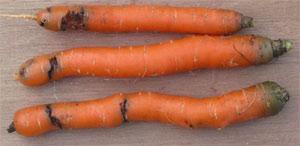 Lutter contre la mouche de la carotte