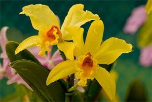 Orchidée Cattleya