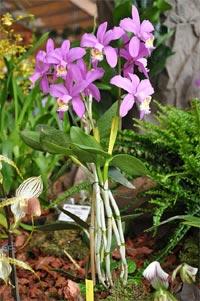 Orchidée Cattleya loddigesii
