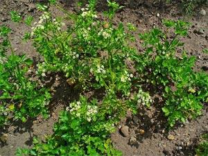 Céleri-rave : semis, culture et récolte