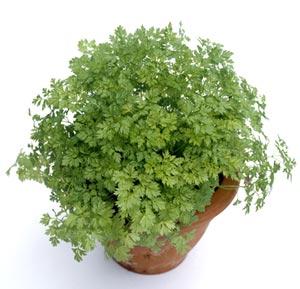 Semez et cultivez du cerfeuil au jardin