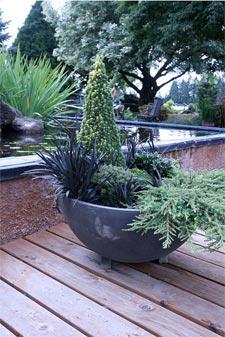 Conifères en vasque avec une graminée noire (Ophiopogon)