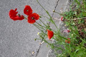 Laissons pousser... des fleurs sauvages en ville !