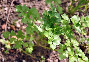 Coriandre - Semis au potager