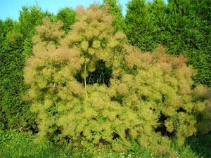 Sélection d'arbustes originaux