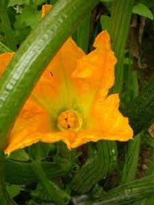 Fleur de courge femelle