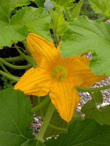 Fleur de courge mâle