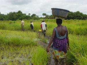 Culture du riz en Guinée