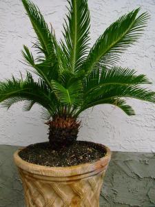 Cyca revoluta for Plante exotique exterieur rustique
