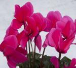 Devancez le printemps avec les plantes fleuries