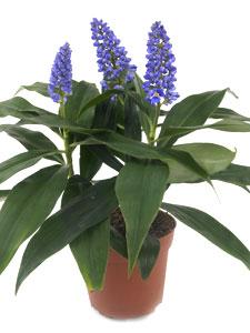 Dichorisandra thyrsiflora Blue Bamboo : une nouveauté chez les fleuristes
