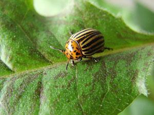 Moins d'insectes parasites sur les cultures bio