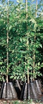 Ebauches d'arbres en conteneurs starpots