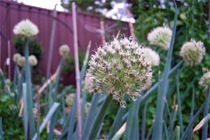 Fleur d'échalote
