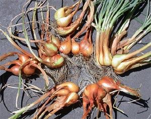 Echalote Plantation Culture Et Recolte