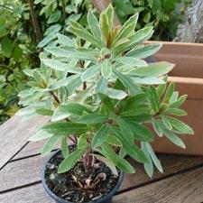 Euphorbe purpurea panachée