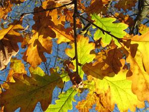 Feuilles de chêne à l'automne