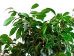 Entretien du Ficus Benjamina