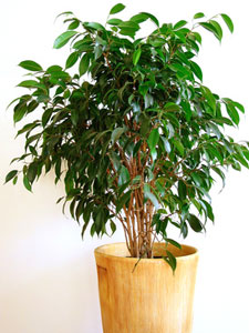Ficus benjamina : entretien